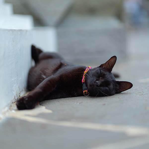 halsbanden kat